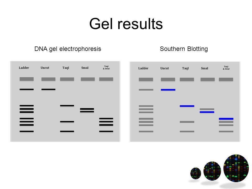 Gel results UncutTaqISmaI TaqI & SmaI Ladder Uncut TaqISmaI TaqI & SmaI Ladder DNA gel electrophoresisSouthern Blotting