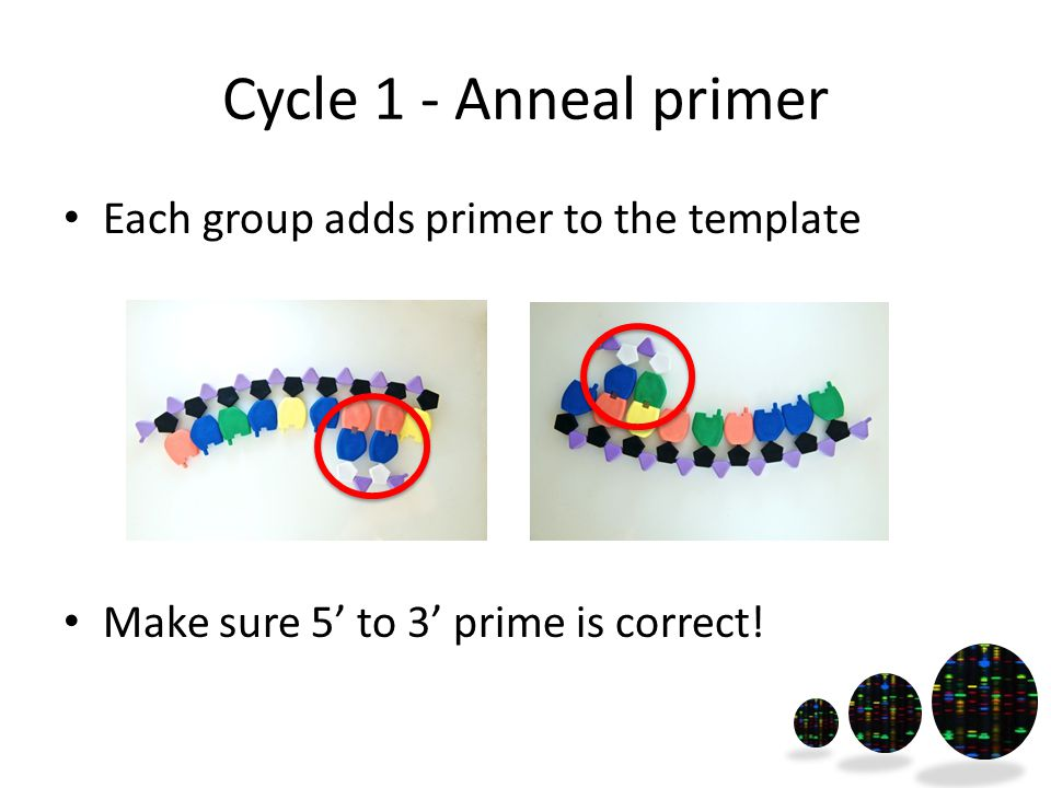 Cycle 1 - Anneal primer Each group adds primer to the template Make sure 5' to 3' prime is correct!