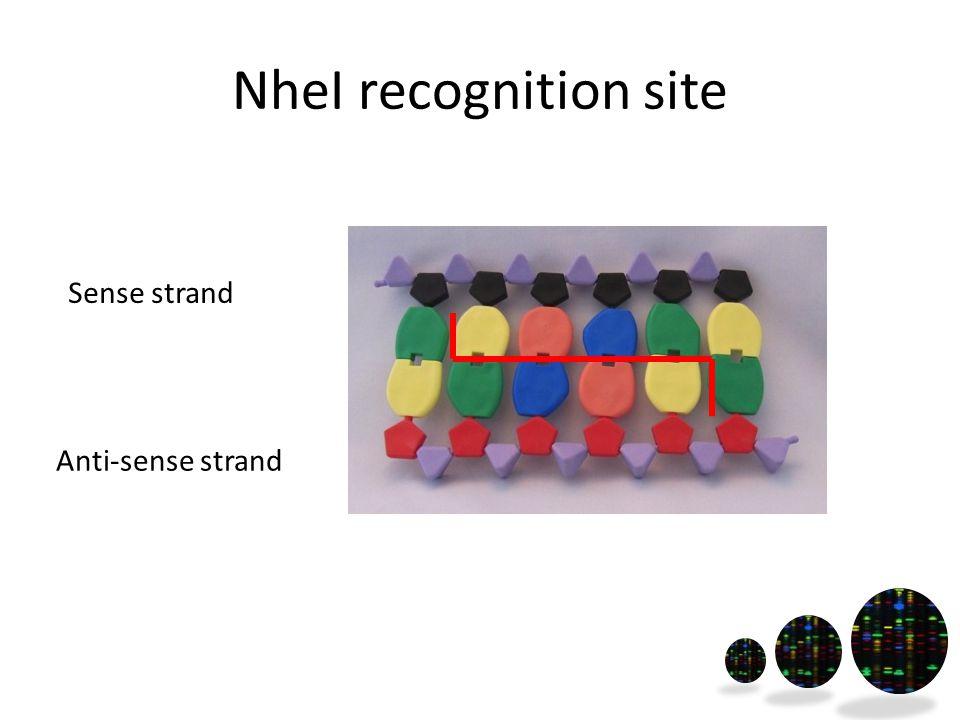 NheI recognition site Sense strand Anti-sense strand