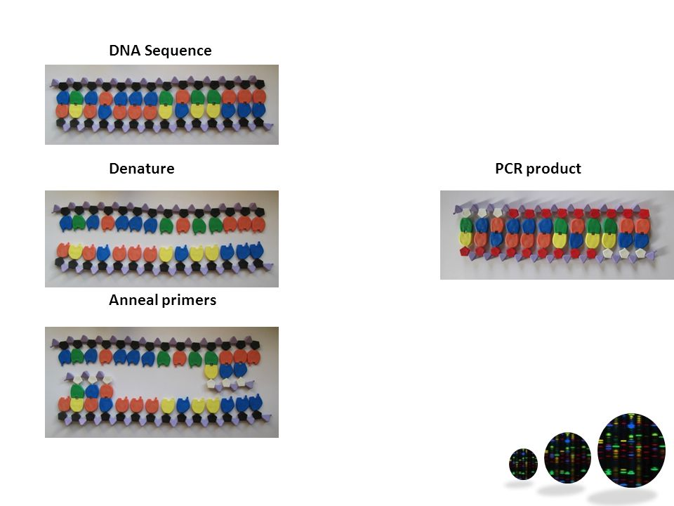 DNA Sequence Denature Anneal primers PCR product