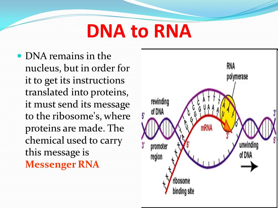 DNA to RNA DNA remains in the nucleus, but in order for it to get its instructions translated into proteins, it must send its message to the ribosome'