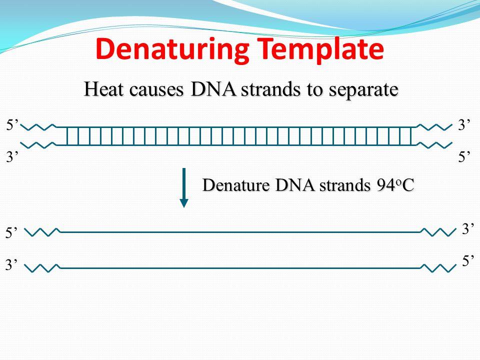 Denaturing Template Heat causes DNA strands to separate 3' 5' 3' Denature DNA strands 94 o C 5' 3' 5'