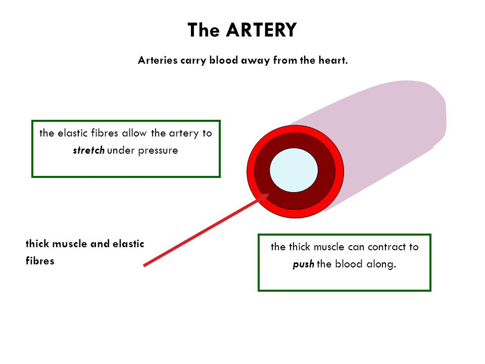The ARTERY thick muscle and elastic fibres Arteries carry blood away from the heart.