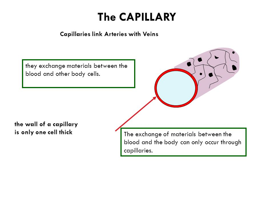 The CAPILLARY Capillaries link Arteries with Veins the wall of a capillary is only one cell thick they exchange materials between the blood and other body cells.