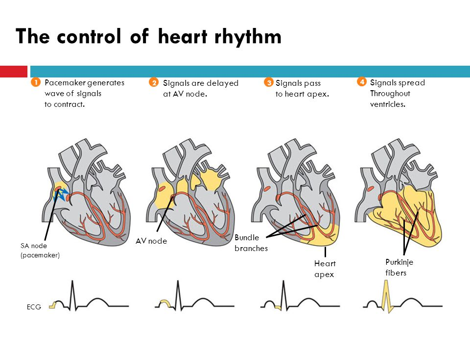 The control of heart rhythm SA node (pacemaker) AV node Bundle branches Heart apex Purkinje fibers 2 Signals are delayed at AV node.