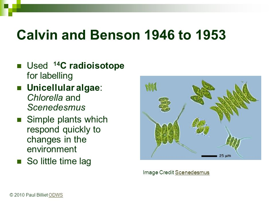 Calvin and Benson 1946 to 1953 Used 14 C radioisotope for labelling Unicellular algae: Chlorella and Scenedesmus Simple plants which respond quickly to changes in the environment So little time lag Image Credit ScenedesmusScenedesmus © 2010 Paul Billiet ODWSODWS