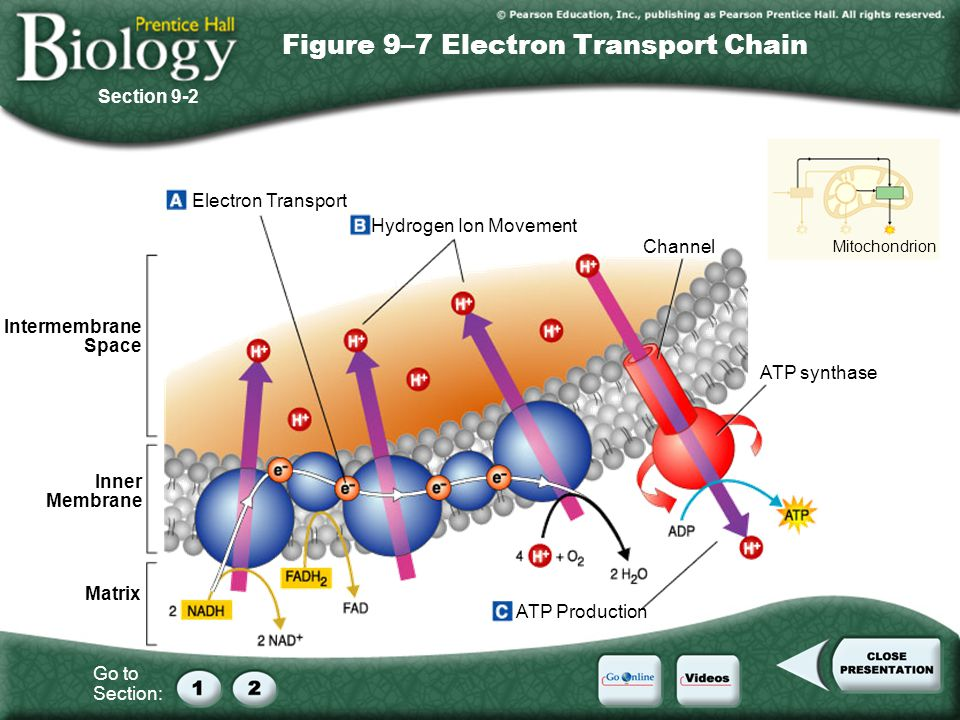 Go to Section: Figure 9–7 Electron Transport Chain Section 9-2 Electron Transport Hydrogen Ion Movement ATP Production ATP synthase Channel Inner Memb