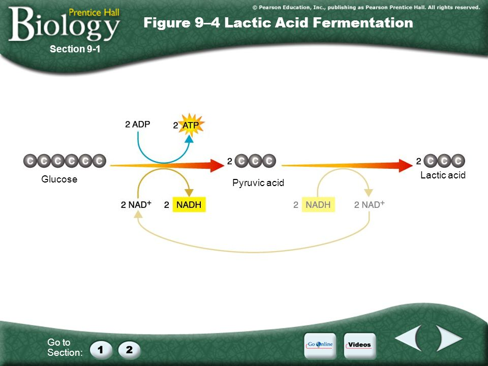 Go to Section: Glucose Pyruvic acid Lactic acid Figure 9–4 Lactic Acid Fermentation Section 9-1
