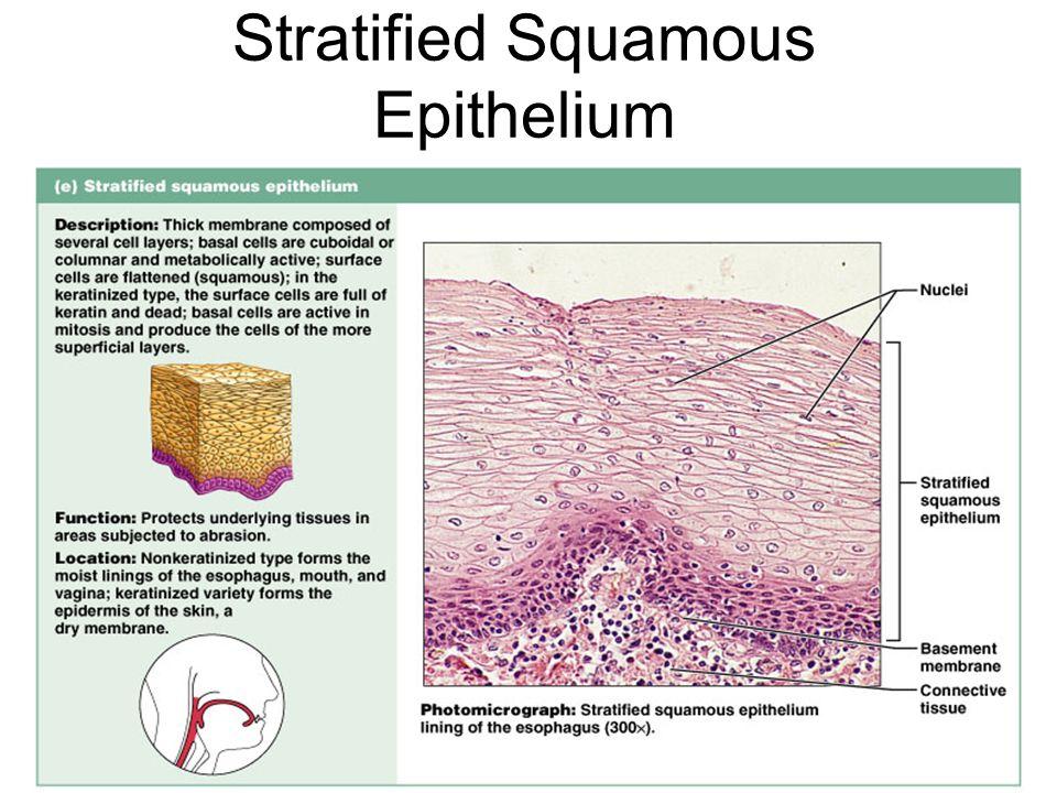 Stratified Squamous Epithelium Figure 4.3e