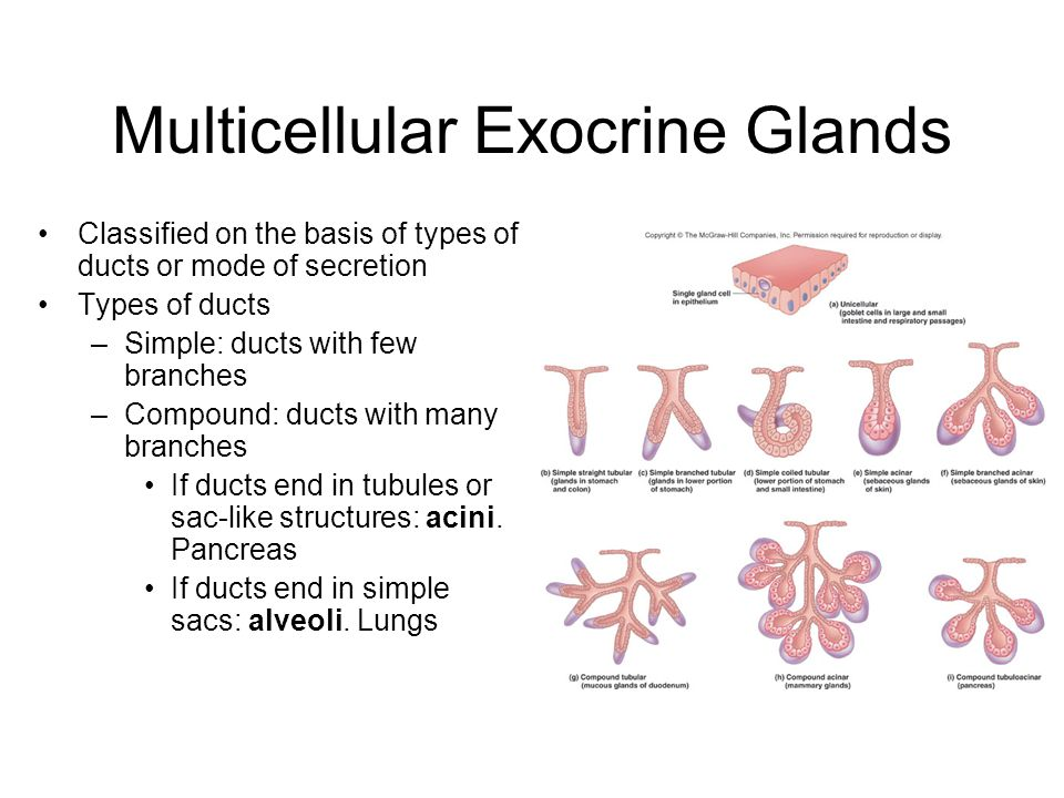 Multicellular Exocrine Glands Classified on the basis of types of ducts or mode of secretion Types of ducts –Simple: ducts with few branches –Compound: ducts with many branches If ducts end in tubules or sac-like structures: acini.
