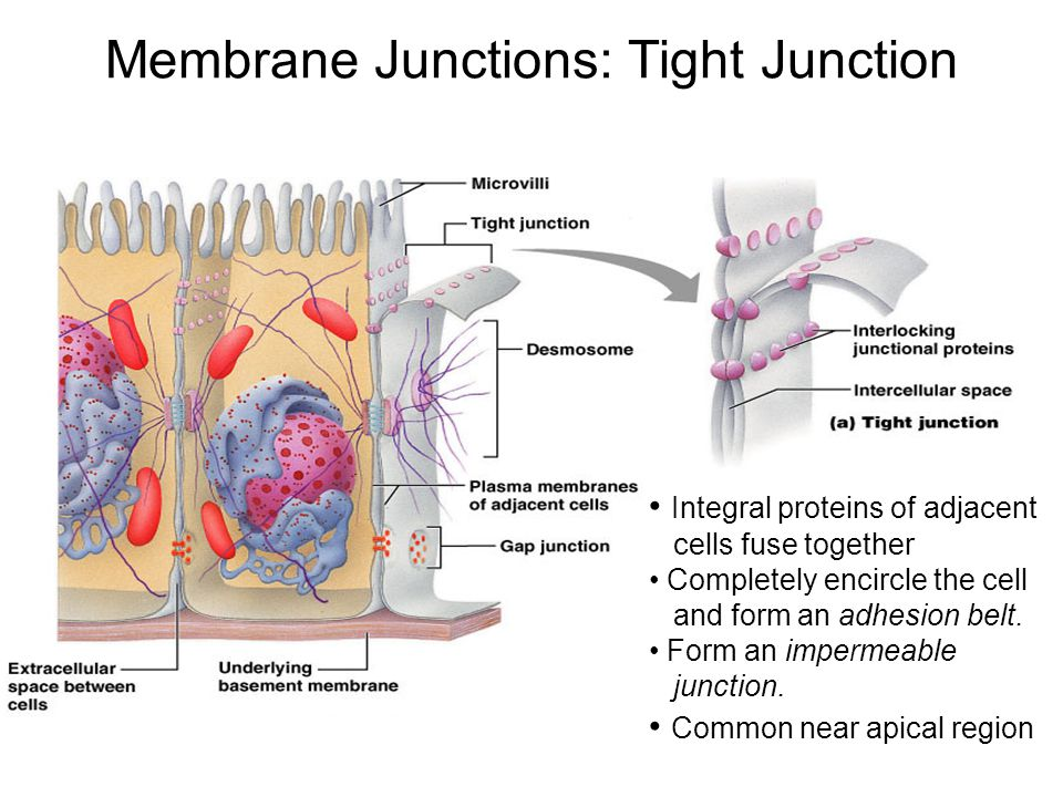 Membrane Junctions: Tight Junction Integral proteins of adjacent cells fuse together Completely encircle the cell and form an adhesion belt. Form an i