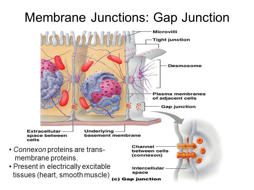 Membrane Junctions: Gap Junction Connexon proteins are trans- membrane proteins.