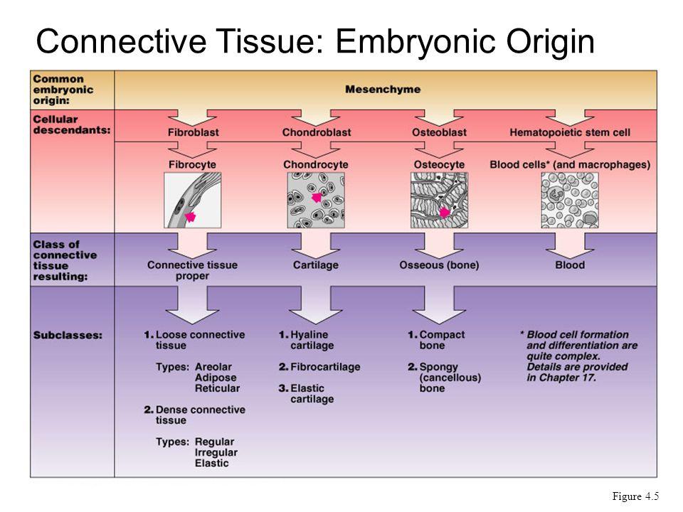 Connective Tissue: Embryonic Origin Figure 4.5