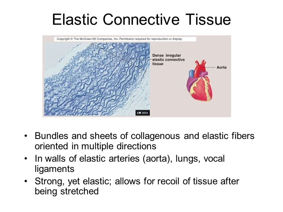 Elastic Connective Tissue Bundles and sheets of collagenous and elastic fibers oriented in multiple directions In walls of elastic arteries (aorta), l