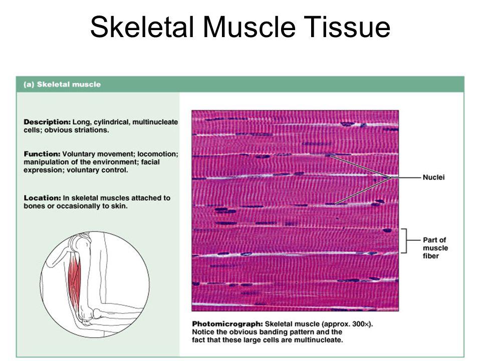 Skeletal Muscle Tissue Figure 4.14a