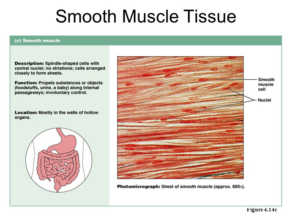 Smooth Muscle Tissue Figure 4.14c