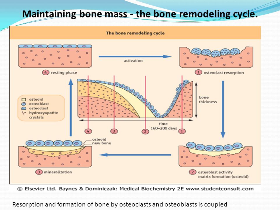 Maintaining bone mass - the bone remodeling cycle. Resorption and formation of bone by osteoclasts and osteoblasts is coupled