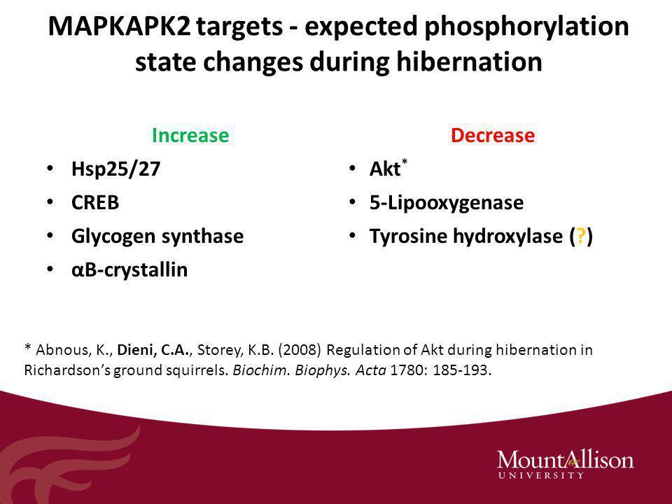 MAPKAPK2 targets - expected phosphorylation state changes during hibernation IncreaseDecrease Hsp25/27 Akt * CREB 5-Lipooxygenase Glycogen synthase Tyrosine hydroxylase ( ) αB-crystallin * Abnous, K., Dieni, C.A., Storey, K.B.