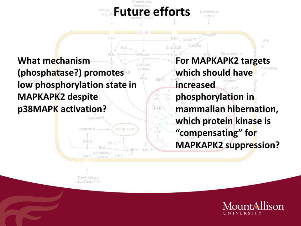 Future efforts What mechanism (phosphatase ) promotes low phosphorylation state in MAPKAPK2 despite p38MAPK activation.