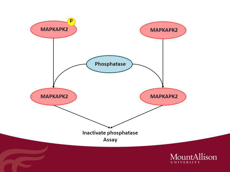 MAPKAPK2 P Phosphatase Inactivate phosphatase Assay