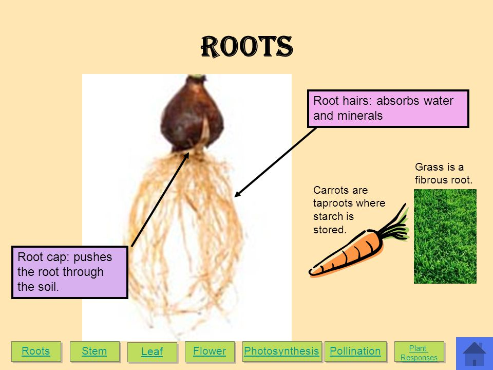 ROOTS Root hairs: absorbs water and minerals Root cap: pushes the root through the soil.