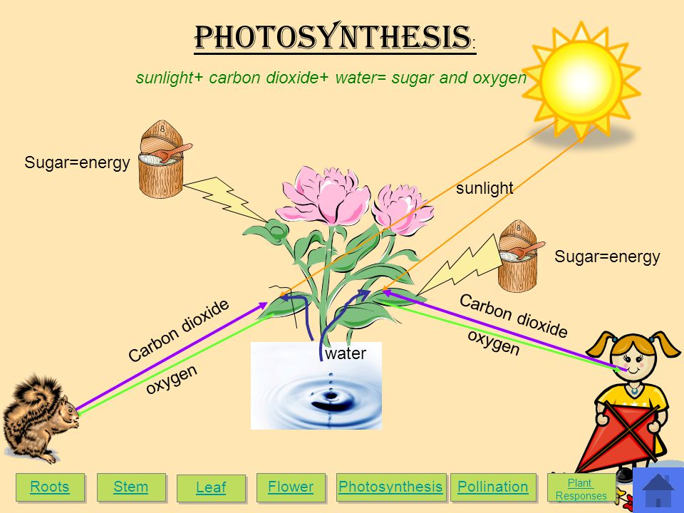 Carbon dioxide water Carbon dioxide sunlight oxygen Sugar=energy Photosynthesis : sunlight+ carbon dioxide+ water= sugar and oxygen Roots Stem Leaf Flower Photosynthesis Pollination Plant Responses Plant Responses