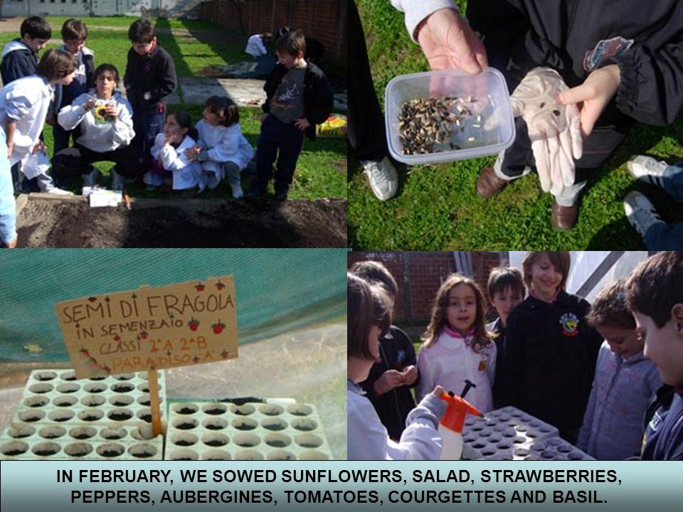 IN FEBRUARY, WE SOWED SUNFLOWERS, SALAD, STRAWBERRIES, PEPPERS, AUBERGINES, TOMATOES, COURGETTES AND BASIL.