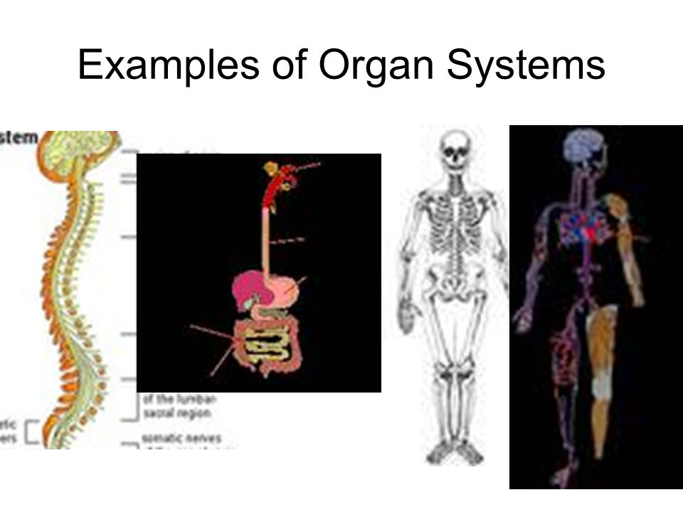 Examples of Organ Systems