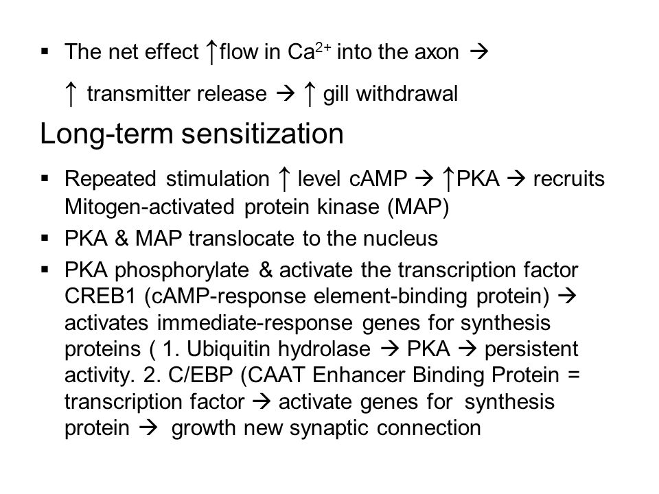  The net effect ↑ flow in Ca 2+ into the axon  ↑ transmitter release  ↑ gill withdrawal Long-term sensitization  Repeated stimulation ↑ level cAMP  ↑ PKA  recruits Mitogen-activated protein kinase (MAP)  PKA & MAP translocate to the nucleus  PKA phosphorylate & activate the transcription factor CREB1 (cAMP-response element-binding protein)  activates immediate-response genes for synthesis proteins ( 1.