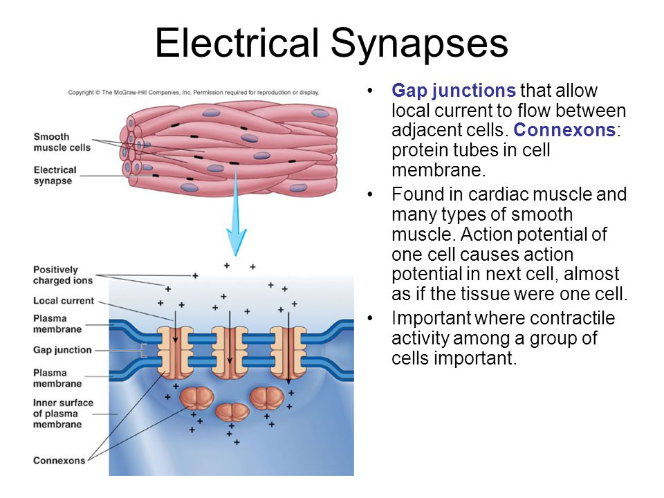 Electrical Synapses Gap junctions that allow local current to flow between adjacent cells. Connexons: protein tubes in cell membrane. Found in cardiac