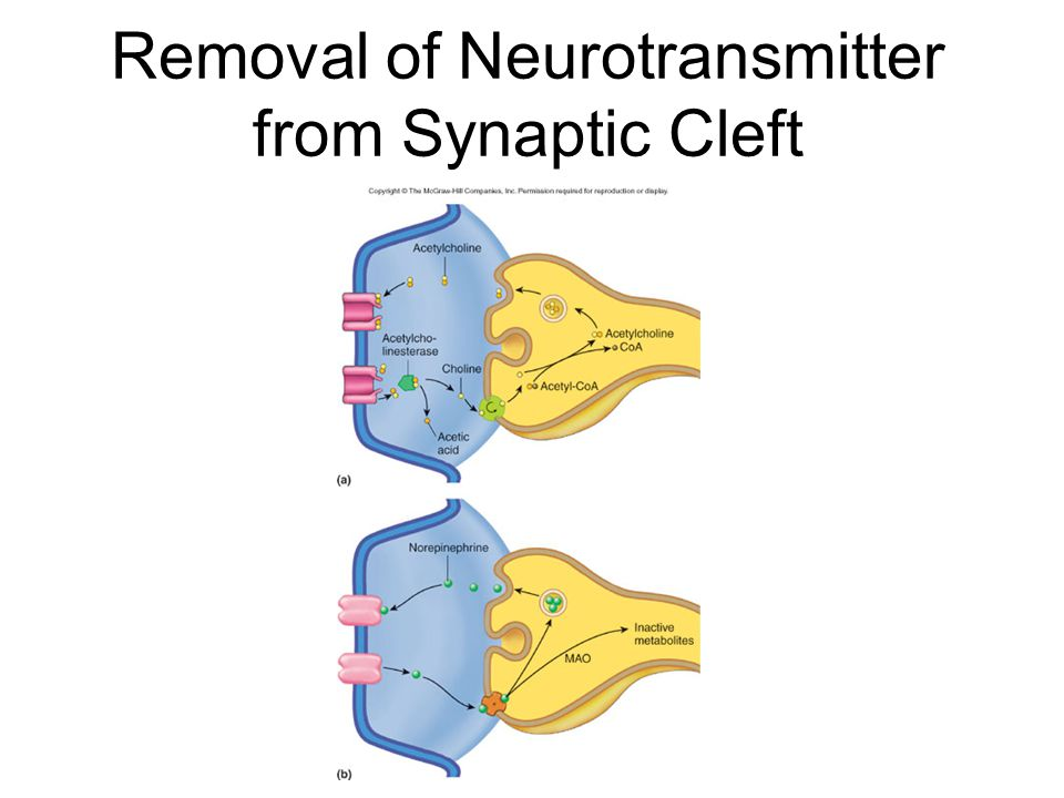 Receptor Molecules and Neurotransmitters Neurotransmitter only fits in one receptor.
