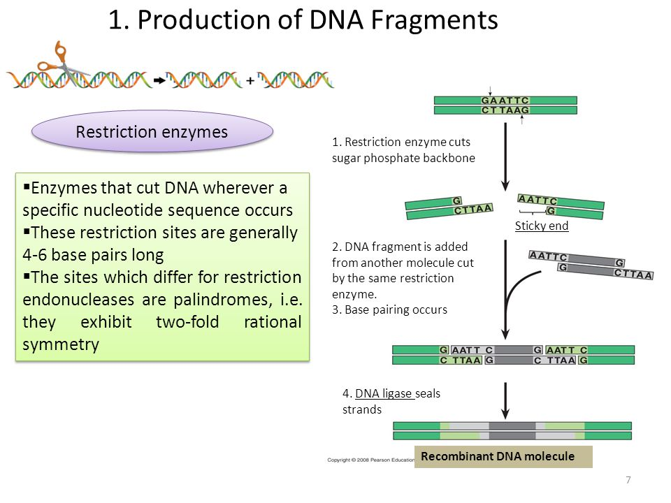 1. Production of DNA Fragments Restriction enzymes 1.