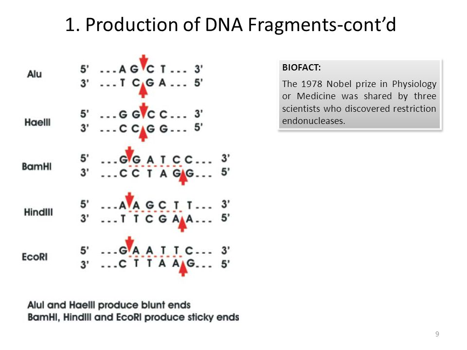 1. Production of DNA Fragments-cont'd BIOFACT: The 1978 Nobel prize in Physiology or Medicine was shared by three scientists who discovered restrictio