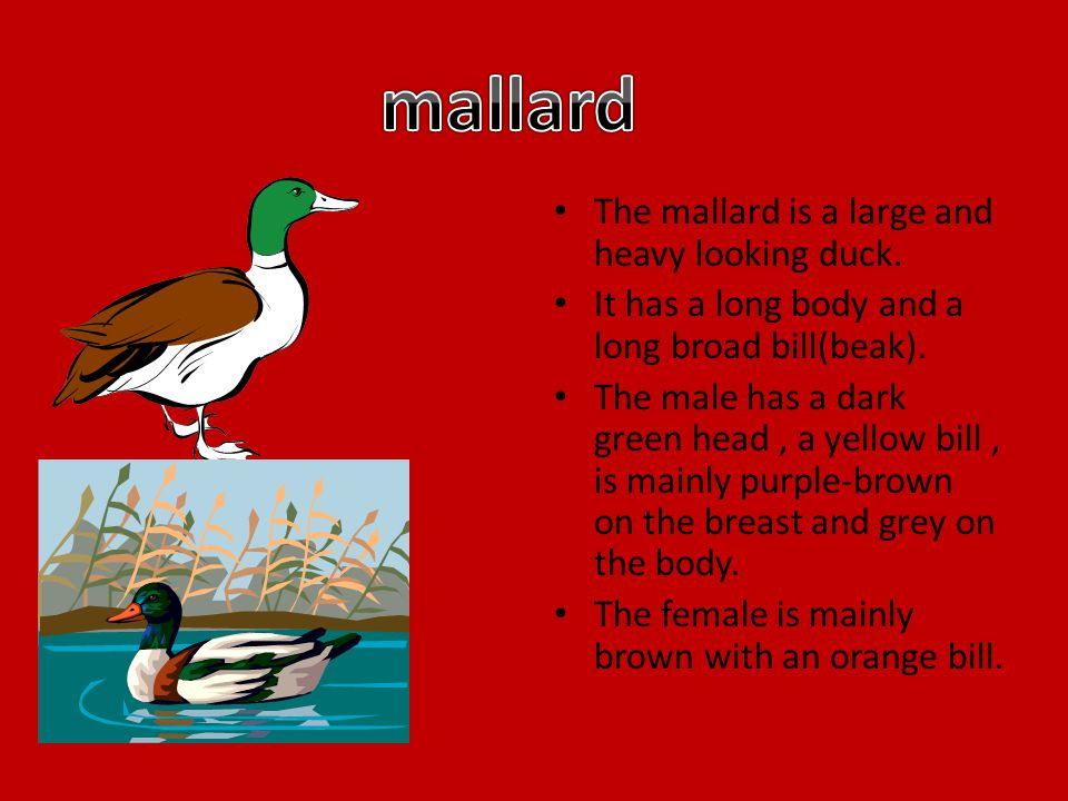 The mallard is a large and heavy looking duck. It has a long body and a long broad bill(beak).