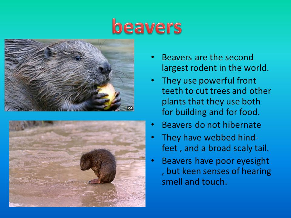 Beavers are the second largest rodent in the world.