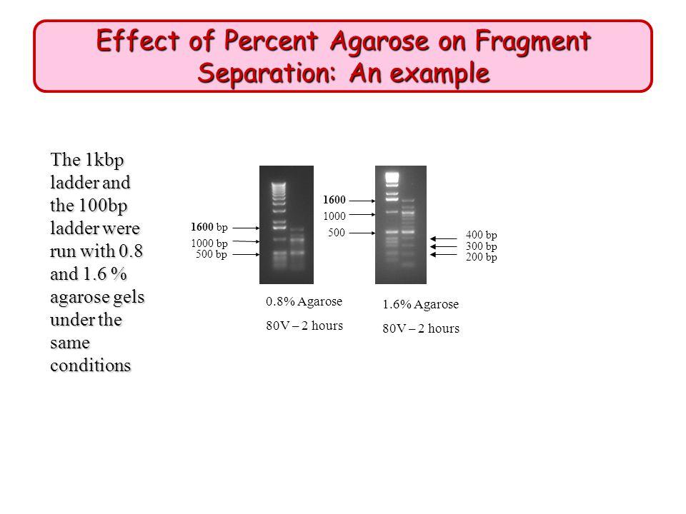 Effect of Percent Agarose on Fragment Separation: An example 1.6% Agarose 80V – 2 hours 0.8% Agarose 80V – 2 hours 1600 bp 1000 bp 500 bp 200 bp 1600