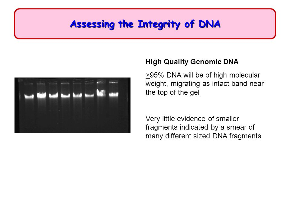 Assessing the Integrity of DNA High Quality Genomic DNA >95% DNA will be of high molecular weight, migrating as intact band near the top of the gel Ve