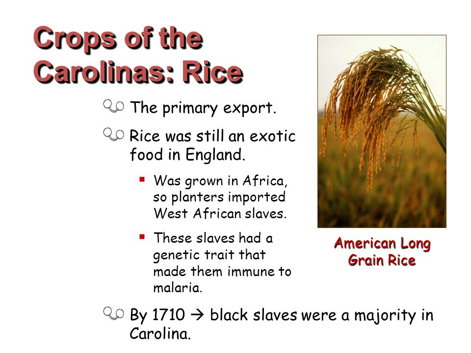 The primary export. Rice was still an exotic food in England.  Was grown in Africa, so planters imported West African slaves.  These slaves had a ge