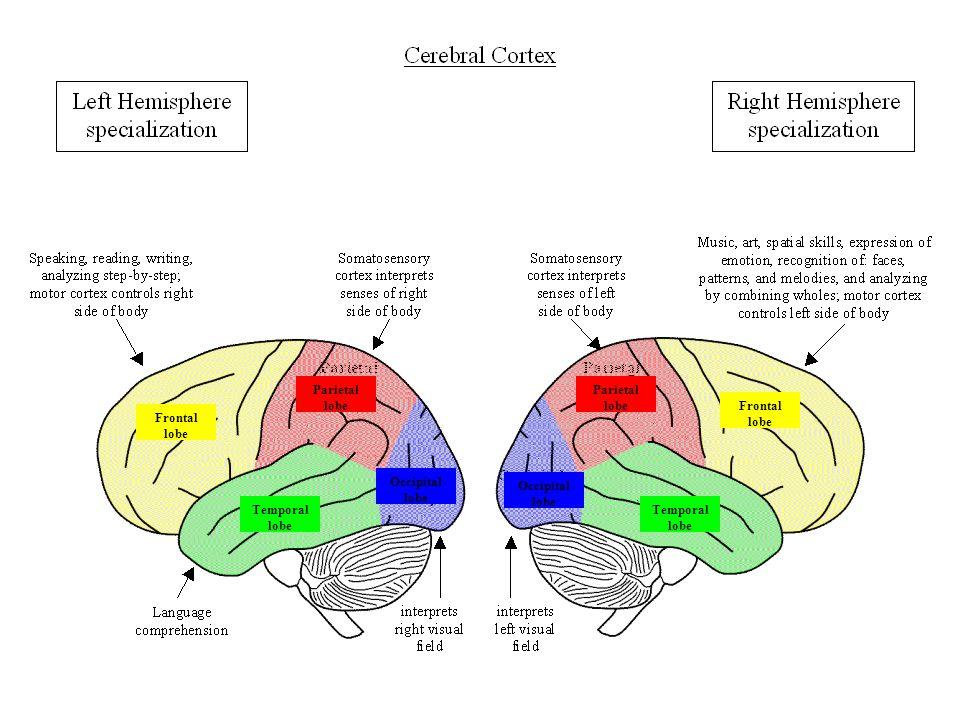 Parietal lobe Frontal lobe Occipital lobe Temporal lobe