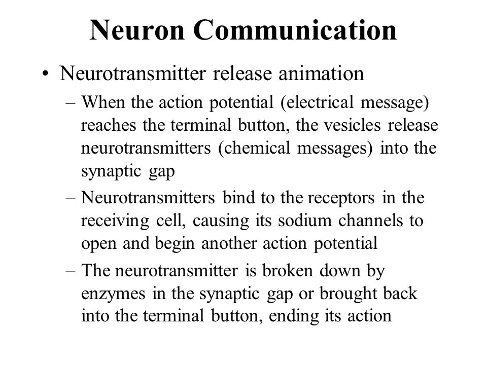 Neuron Communication Neurotransmitter release animation –When the action potential (electrical message) reaches the terminal button, the vesicles rele