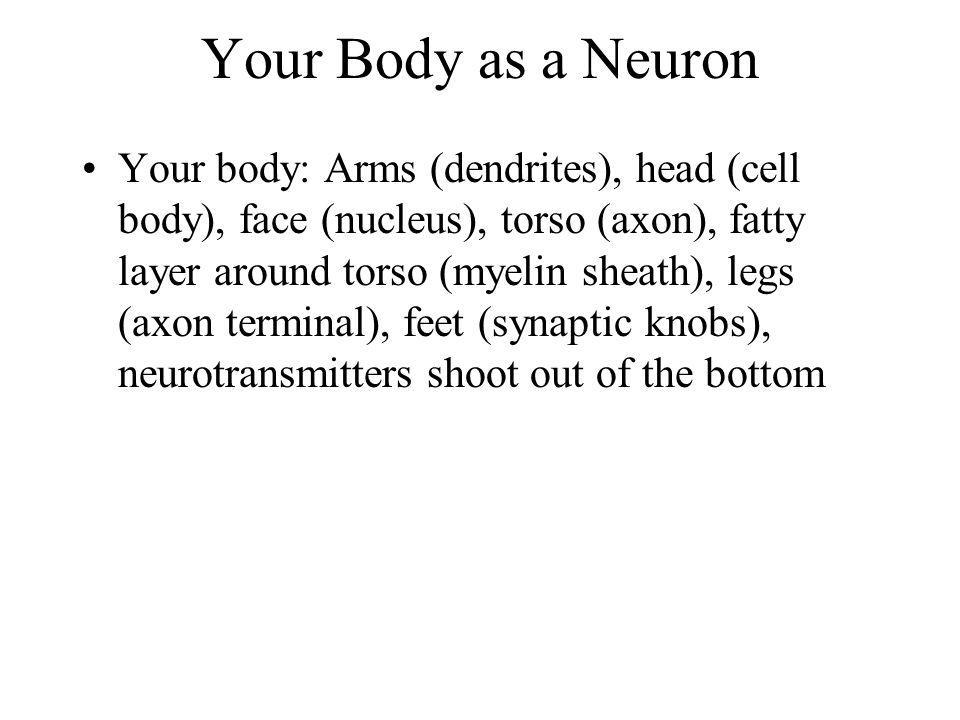 Your Body as a Neuron Your body: Arms (dendrites), head (cell body), face (nucleus), torso (axon), fatty layer around torso (myelin sheath), legs (axo