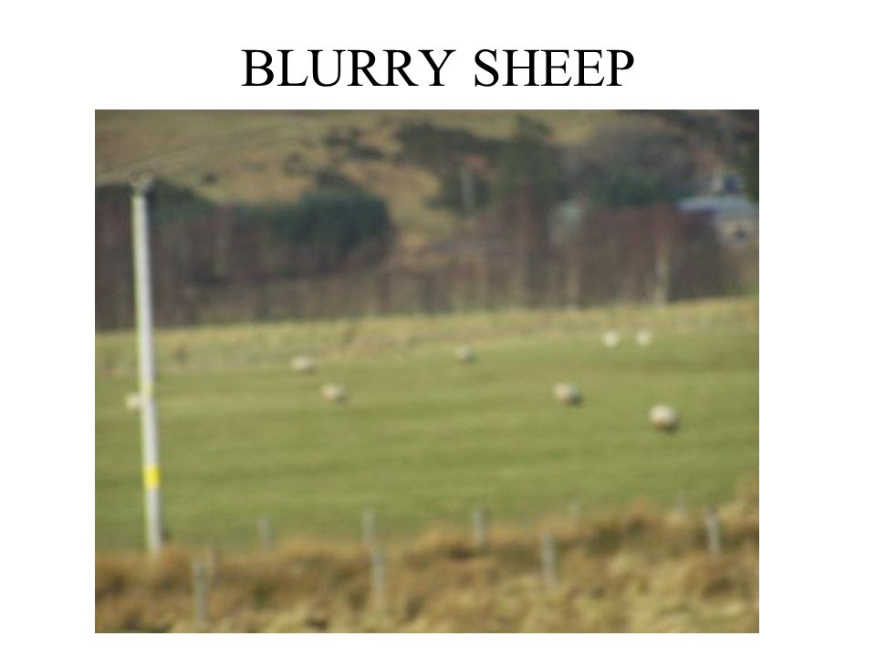 BLURRY SHEEP
