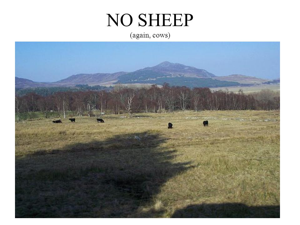 NO SHEEP (again, cows)