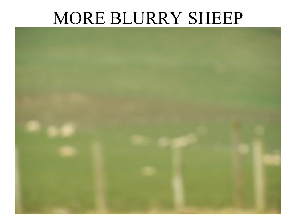 MORE BLURRY SHEEP