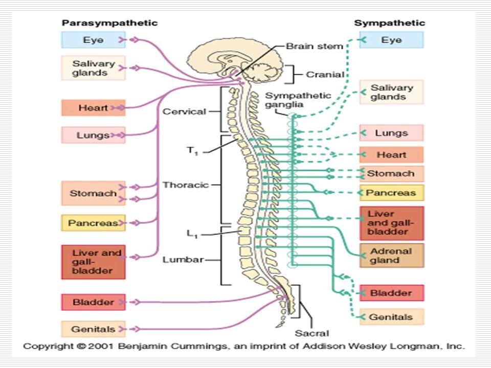 15 PHARMACODYNAMICS OF CATECHOLAMINES vessels ADRENALINE small and medium doses - vasodilation and decreased BP, reflex tachycardia (vascular 2 receptors stimulation - the most sensitive) high doses of adrenaline - vasoconstriction – increase systolic and diastolic BP, reflex bradycardia (1 a vascular receptor stimulation) NORADRENALINE At all doses - vasoconstriction - increases blood pressure, increased peripheral vascular resistance, reflex bradycardia