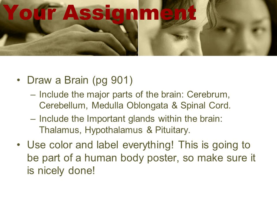 Your Assignment Draw a Brain (pg 901) –Include the major parts of the brain: Cerebrum, Cerebellum, Medulla Oblongata & Spinal Cord.