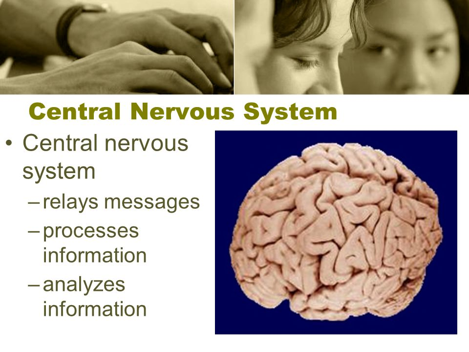 The Brain Brain: made of neurons –controls daily operations of human body –controls homeostasis –interprets sensory information