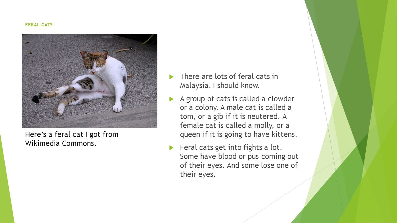 FERAL CATS  There are lots of feral cats in Malaysia.