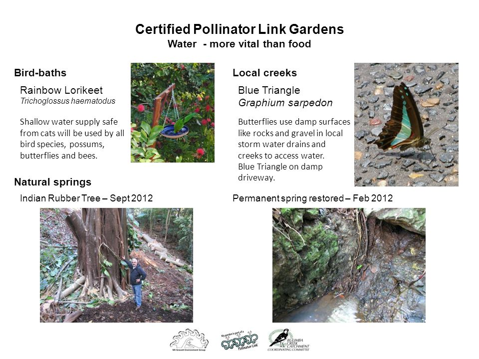 Certified Pollinator Link Gardens Water - more vital than food Bird-baths Rainbow Lorikeet Trichoglossus haematodus Shallow water supply safe from cats will be used by all bird species, possums, butterflies and bees.