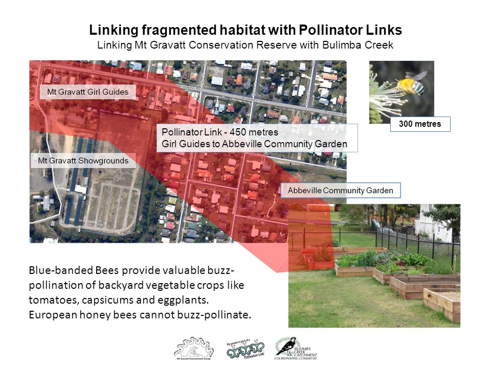 Linking fragmented habitat with Pollinator Links Linking Mt Gravatt Conservation Reserve with Bulimba Creek Pollinator Link - 450 metres Girl Guides to Abbeville Community Garden 300 metres Blue-banded Bees provide valuable buzz- pollination of backyard vegetable crops like tomatoes, capsicums and eggplants.